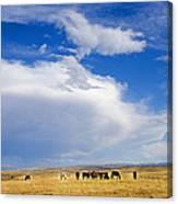 Wild Mustang Herd Grazing Canvas Print