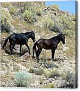 Wild Mustang Pair From Applewhite Hma Canvas Print