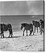 Wild Mustangs Of Shackleford Canvas Print