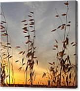 Wild Oats 2am-110425 Canvas Print