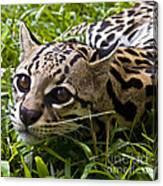 Wild Ocelot Canvas Print