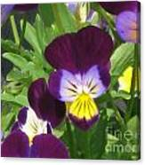 Wild Pansies Or Johnny Jump-ups 1 Canvas Print