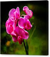 Wild Pea Flower Canvas Print