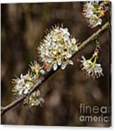 Wild Pear Canvas Print