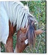 Wild Ponies Of Assateague 21 Canvas Print