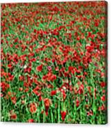 Wild Poppies Growing In A Field, South Canvas Print