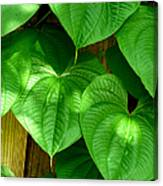 Wild Potato Vine Canvas Print