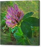 Wild Red Clover Blossom Canvas Print