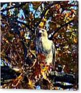 Wild Red Tail Hawk Canvas Print
