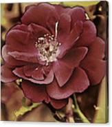 Wild Rose Iv Canvas Print