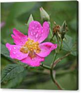 Wild Rose Canvas Print