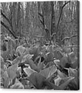 Wild Skunk Cabbage Bw Canvas Print