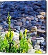 Wild Snapdragons  Canvas Print