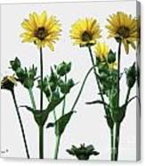 Wild Sunflowers Canvas Print
