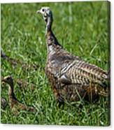 Wild Turkey And Poults Canvas Print