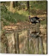 Wild Turkey Crossing Canvas Print