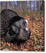 Wild Turkey Displaying Canvas Print