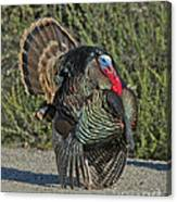 Wild Turkey Tom Canvas Print