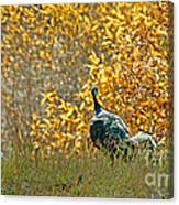 Wild Turkeys And Fall Colors Canvas Print