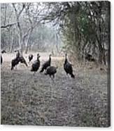 Wild Turkeys II Canvas Print