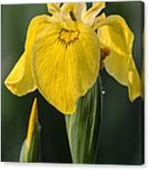 Wild Yellow Iris Canvas Print