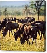 Wildebeests Herd. Gnu On African Savanna Canvas Print