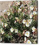 Wildflowers - Desert Primrose Canvas Print