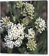 Wildflowers - White Yarrow Canvas Print