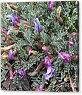 Wildflowers - Woolly-pod Locoweed Canvas Print