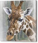 Wildlife Giraffe  Canvas Print