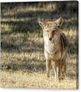 Wiley Coyote Canvas Print