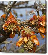 Wiliwili Flowers - Erythrina Sandwicensis - Kahikinui Maui Hawaii Canvas Print