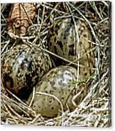 Willet Catoptrophorus Semipalmatus Eggs Canvas Print