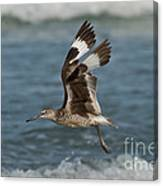 Willet In Flight Showing Wing Molt Canvas Print