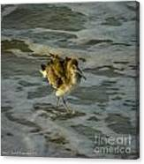 Willet Washing 1 Canvas Print