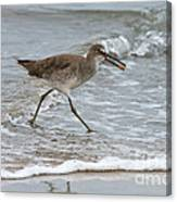 Willet With Mole Crab Canvas Print