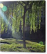 Willow Magic Canvas Print