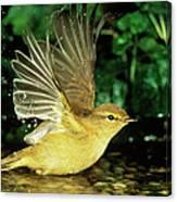 Willow Warbler Phylloscopus Trochilus Canvas Print