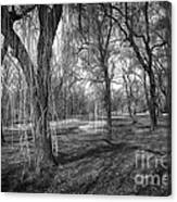 Willows In Spring Park Canvas Print