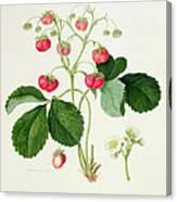 Wilmot's Cocks Comb Scarlet Strawberry Canvas Print