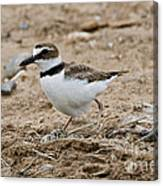 Wilsons Plover At Nest Canvas Print