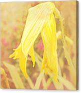 Wilted Yellow Lily In The Dew Canvas Print