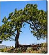 Lonesome Pine Tree Canvas Print