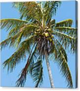 Windblown Coconut Palm Canvas Print