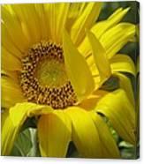 Windblown Sunflower One Canvas Print