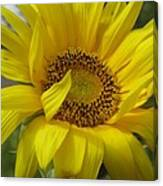 Windblown Sunflower Three Canvas Print