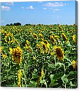 Windblown Sunflowers Canvas Print