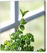 Window Herb Garden Canvas Print