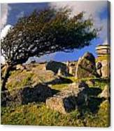 Windswept Hawthorn Tree Canvas Print