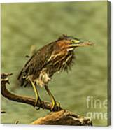 Windy Morn Green Heron Canvas Print